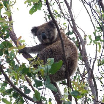La rencontre du jour : un koala !