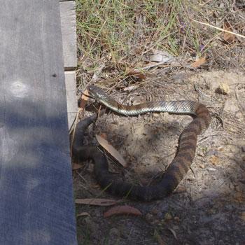 La rencontre du jour : un tiger snake !
